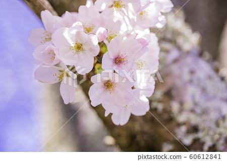 벚꽃 만개 푸른 하늘 집 구경 60612841