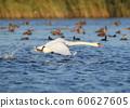 Swan take off 60627605