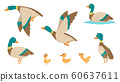 Wild ducks. Young swimming birds water pond little ducks vector cartoon collection 60637611
