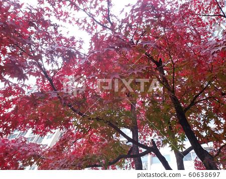 가을의 레드칼라 60638697