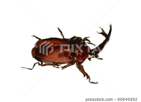Beetle 60640892