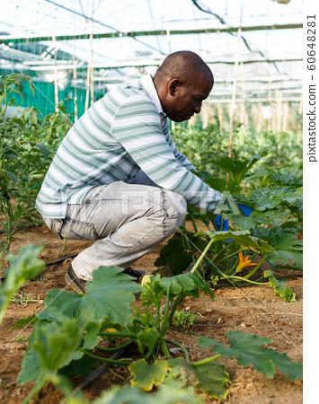 Farmer checking zucchini plants 60648281