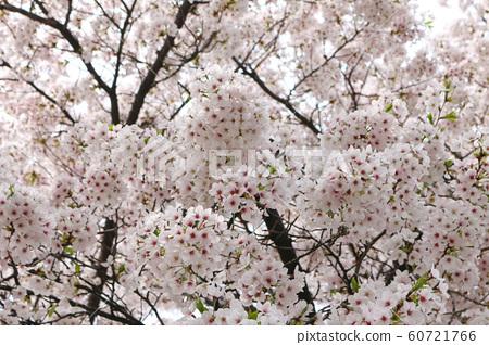 화창한 봄날의 벚꽃 60721766