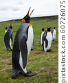 King Penguins - Falkland Islands 60726075