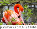 american or Caribbean Flamingo cleaning feathers 60733466