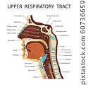 Upper respiratory tract. Anatomy - nose, throat , mouth, respiratory system 60736659