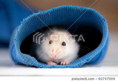 hamster 60747009