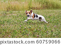 Small Jack Russell terrier running over green meadow after thrown ball, jumping, her legs in air, looking into camera 60759066