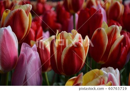 Tulip 60763719