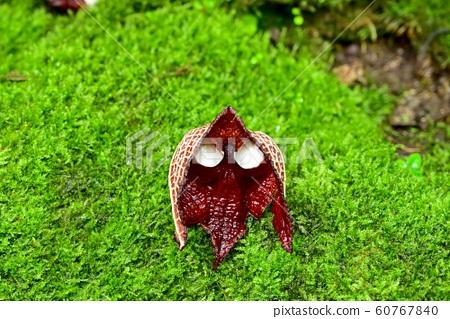 다스 베이더처럼 보이는 아리스토로키아 살바도르 드레인 시스의 꽃 60767840
