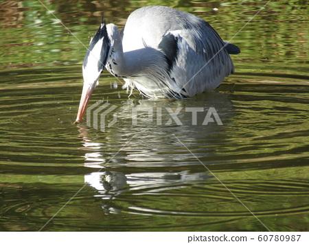 苍鹭在Inage海滩公园池塘 60780987