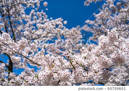 樱花盛开的春天图像森美吉野多彩的春天传统特写蓝天晴朗晴朗的天空清除 60789601