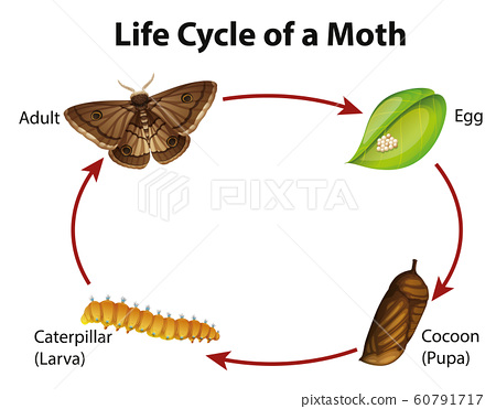 Diagram showing life cycle of moth 60791717