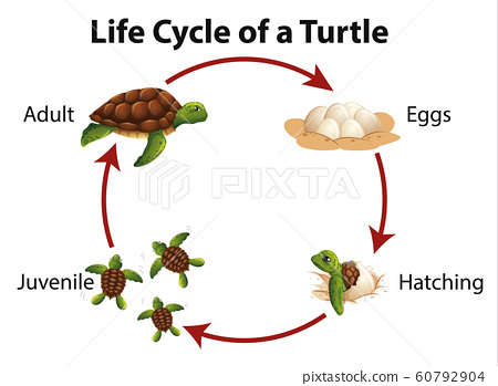 Diagram showing life cycle of sea turtle 60792904