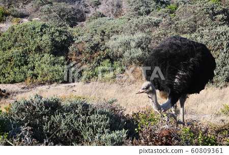 南非開普敦大西洋海灘希望角附近的野生鴕鳥男 60809361
