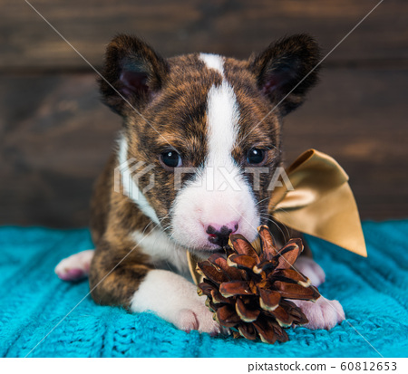 Basenji puppy dog with big golden bow and fir cone 60812653
