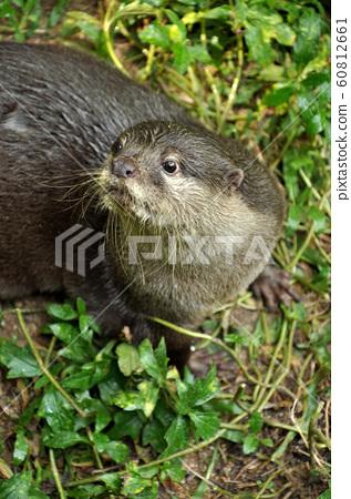 Otter 60812661
