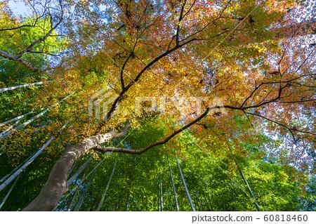 [가나가와 현] 가마쿠라 원각사 단풍과 대나무 숲 60818460
