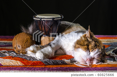 tricolor cat sleeping with Djembe drum and coconut on striped carpet 60825666