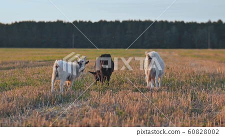 White and black goats eat grass at sunset on village 60828002
