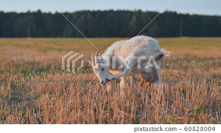 White goat eat grass at sunset on village 60828004