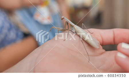 Children examine an insect mantis on a hand. 60834350