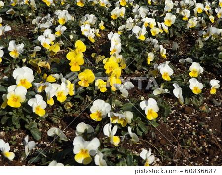 ดอกไม้สีเหลืองและสีขาวที่พิพิธภัณฑ์ดอกไม้ Sanyo Medea 60836687