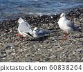 検見川 바닷가 磯浜에서 휴식중인 겨울 철새 유리카모메 60838264