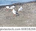 検見川 바닷가 磯浜에서 휴식중인 겨울 철새 유리카모메 60838266
