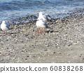 検見川 바닷가 磯浜에서 휴식중인 겨울 철새 유리카모메 60838268