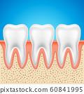 Tooth vector dental anatomy. Human tooth bone healthy illustration isolated 60841995