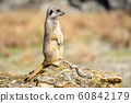 The meerkat, Suricata suricatta or suricate is a small carnivoran in the mongoose family. It is the only member of the genus Suricata 60842179
