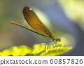 Copper demoiselle female dragonfly 60857826