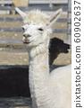 羊駝 60902637