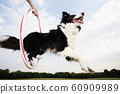 Low angle of a Sheepdog jumping through a hoop 60909989