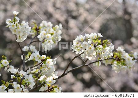 樱桃树 60913971