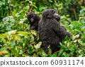 A black gorilla with a baby chewing vegetation in the wild deep in the jungle 60931174