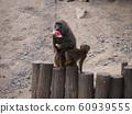 小猴和母猴 60939555