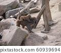 小猴和母猴 60939694