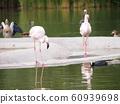 火烈鳥或火烈鳥 60939698