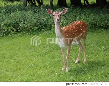 deer 60939720