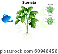 Diagram showing stomata on the chart 60948458