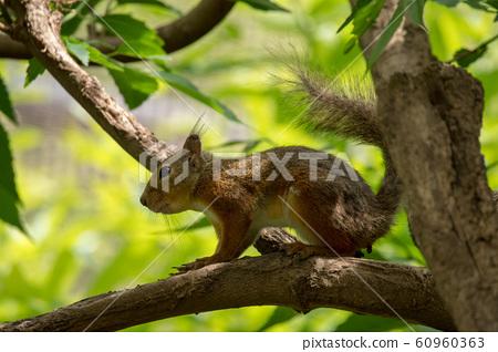 Sunbeams and Japanese squirrels 60960363