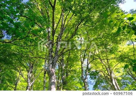 신록의 너도밤 나무 숲 60967506