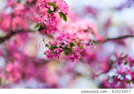 Nature background with wonderful pink blossomed 61023957