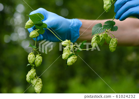 Hops cones branch in scientist hand on hop yard. Humulus lupulus for beer production. 61024232