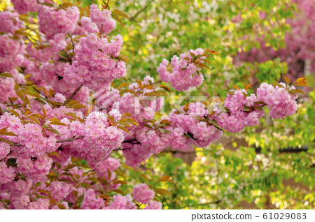 cherry blossom in the garden 61029083