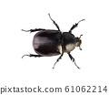 (Top view image)Female rhinoceros beetles. 61062214