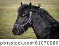 Beauty foal - friesian horse stallion 61070980