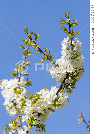 Bunches of cherry blossom. 61071547